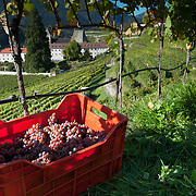 UNSPECIFIED, ITALY - OCTOBER 13:  Harvested Riesling grapes and view of the Abbey wineyards on October 13, 2010 in Varna, Italy. Abbazia di Novacella, in Alto Adige established in the year 1142 by Augustinian monks, is one of the oldest vineries in the world; it has a production of about 400,000 bottles of world class wines including Kerner, Sylvaner, Pinot Grigio, Gewurtztraminer.