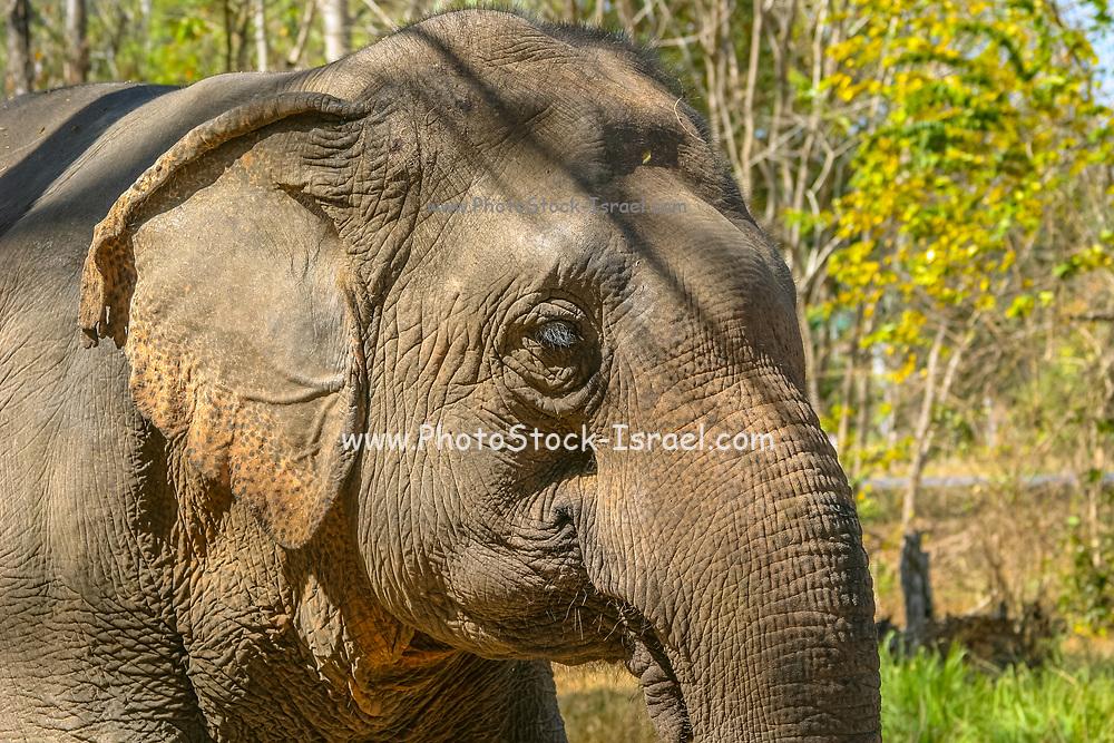 A suffering elephant in elephant kraal pavilion ayutthaya Thailand