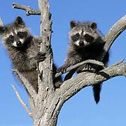 Raccoon, (Procyon lotor) Pair in tree. Rocky mountains. Montana.  Captive Animal.