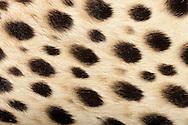 """Cheetah (Acinonyx jubatus), close-up coat, is an atypical member of the cat family in Africa, It is the fastest land animal. It has a yellowish base color, the belly is usually much brighter. It is dotted with black spots, which are much smaller than the form of a leopard and no rosettes. Cheetahs have a straight, short coat, the spots are fluffy. The fur of each animal has an individual pattern. The coat pattern is for camouflage. Frankfurt am Main, Hesse, Germany.This picture is part of the series """"Creature's Coiffure""""..Gepard (Acinonyx jubatus) Fellausschnitt eines Geparden. Der Gepard ist eine hauptsaechlich in Afrika verbreitet Katze und gilt als das schnellste Landraubtier der Welt. Das Fell des Gepards hat eine gelbliche Grundfarbe, wobei die Bauchseite meist deutlich heller ist. Es ist mit schwarzen Flecken übersaet, die deutlich kleiner sind als die eines Leoparden und keine Rosetten bilden. Geparden besitzen ein glattes, kurzes Fell, dessen Flecken flauschiger sind als das Grundfell. Die Fellzeichnung eines jeden Tieres besitzt ein individuelles Muster. Die Fellzeichnung dient zur Tarnung. Frankfurt am Main, Hessen, Deutschland.Dieses Bild ist Teil der Serie ,,Die Frisur der Kreatur"""""""