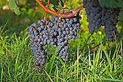 Pomerol vineyards - ripe grape bunches at La Conseillante, Bordeaux