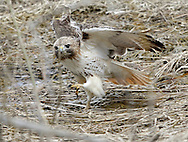 A hawk with an injured right wing jumps down from a tree in a grassy area between Route 17M and Route 17 in Chester on March 28, 2013.