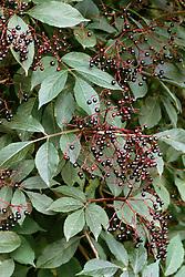 The berries of Sambucus nigra 'Guincho Purple'  - elderberry
