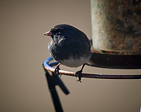 Dark-eyed Junco. Image taken with a Nikon D5 camera and 600 mm f/4 VR lens (ISO 220, 600 mm, f/4, 1/1250 sec).