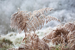 Hoar frost on bracken. Pteridium aquilinum