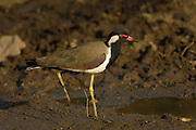 Sasan Gir - Monday, Jan 08 2007:  A Red-wattled Lapwing (Vanellus indicus) stands in mud near a river in Gir National Park. (Photo by Peter Horrell / http://www.peterhorrell.com)