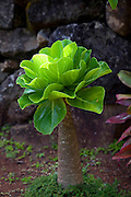Alula, Limahuli Garden and Preserve, Haena, Kauai, Hawaii