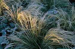 A shaft of sunlight on the frosted foliage of Stipa tenuissima and Phlomis at Castelnau