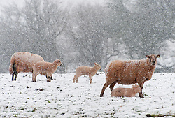 © Licensed to London News Pictures. 04/04/2019. Builth Wells, UK.  Ewes and lambs are see in a wintry landscape as bitterly cold Easterly winds and snow hit land above 20 metres altitude on the Mynydd Epynt range near Builth Wells in Powys, UK. Photo credit: Graham M. Lawrence/LNP