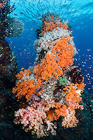 Fusiliers school above a Soft Coral encrusted pillar<br /> <br /> Shot in Raja Ampat Marine Protected Area West Papua Province, Indonesia