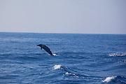 Dolphin, Island of Hawaii