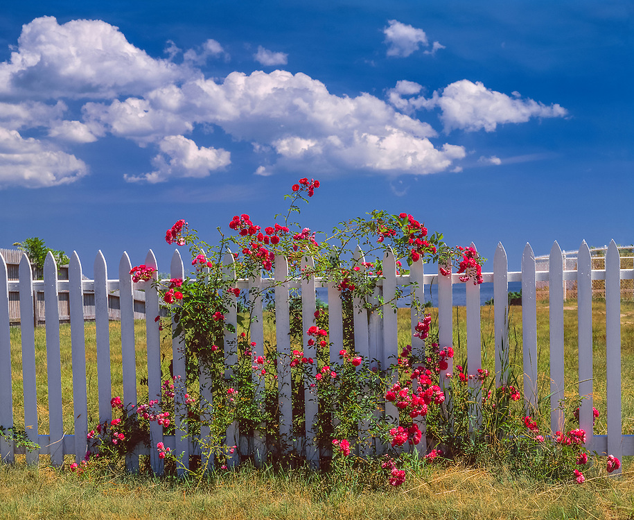 White picket fence, with wrinkled roses & clouds in blue sky, Oak Bluffs, MA