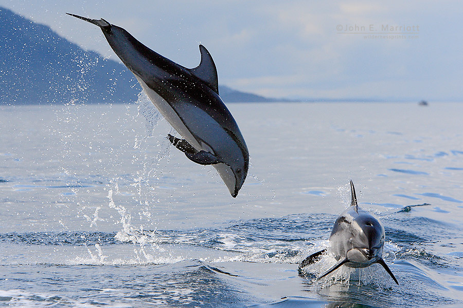 Pacific white-sided dolphins, Inside Passage, B.C.