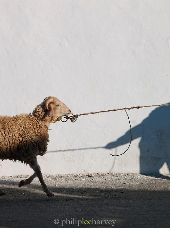 Sheep in Mahdia markety place, tunisia