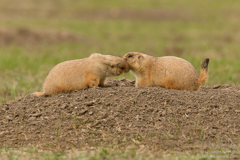 A pair of black-tailed prairie dogs (Cynomys ludovicianus) kiss at the entrance to a burrow in Badlands National Park, South Dakota. When prairie dogs encounter other prairie dogs in their territories, they sniff each other's perianal scent glands to make sure that they are from the same family group. Prairie dogs are very social and live in large colonies called prairie dog towns, but closely interact only with members of their own family. Kissing may be a signal that they recognize their own kin.