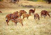 Nyala herd (Tragelaphus angasi). Native range: lowland woods of extreme SW Africa including Zimbabwe, Mozambique and South Africa. Captive.