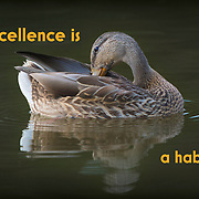"""Preening female mallard duck, blue speculum visible in wing, paired with motivational statement, """"Excellence is a habit."""""""