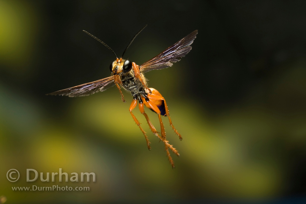 A male Great Golden Digger Wasp (Sphex ichneumoneus) (Family Sphecidae). South Texas.