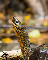 Black River Turtle (Tortuga Negra del Río), Rhinoclemmys funerea, also called the Black Wood Turtle, basking on a log in the Tortuguero River (Rio Tortuguero) in Tortuguero National Park, Costa Rica. Listed as Near-Threatened in the IUCN Red List of Threatened Species.