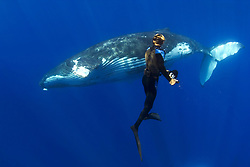 photographer and humpback whale, Megaptera novaeangliae, Hawaii, USA, Pacific Ocean
