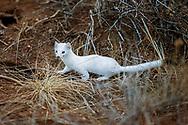Longtailed Weasle in winter coat of white fur; hunting