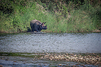 Rhino cooling off in a water hole in Bardia National Park, Nepal.