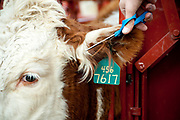 PRICE CHAMBERS / NEWS&GUIDE<br /> A Hereford calf gets a trim to keep its ear tag visible as veternarian Ken Griggs vacinates, tags and checks the animal for pregnancy.