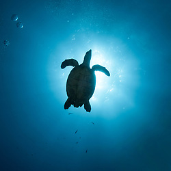 When I saw the Hawksbill turtle I swan to position myself so the turtle was between the sun and myself for this photograph.<br /> <br /> This is available printed on circular metal.<br /> <br /> The black silhouette of a Hawksbill Sea Turtle is shown against a sunburst in blue water.