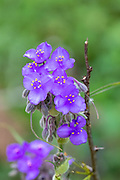 Spiderwort wildflower in Texas