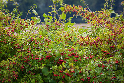 Hawthorn berries in a hedgerow. Crataegus monogyna - Common hawthorn, Maythorn, Motherdie, Quickthorn, Hedgerow thorn