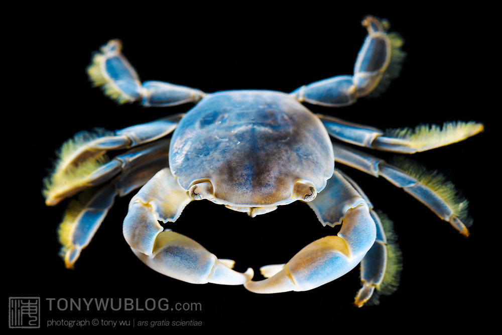 This is a Columbus crab (Planes major), a small oceanic crab that lives on floating objects such as seaweed, driftwood and other debris, or in association with animals such as by-the-wind sailors (Velella velella) or turtles. They can appear in different colors. This one was found together with a mass stranding of thousands of Portuguese man-of-war colonial siphonophores (Physalia utriculus) and by-the-wind sailors. The crab was between one and two centimeters. This species was previously known by the name Planes cyaneus.