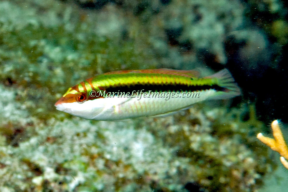 Clown Wrasse inhabit reefs and adjacent sand areas in Tropical West Atlantic; picture taken  Key Largo, FL.