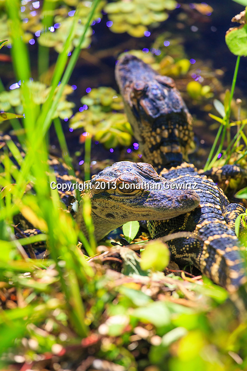 Two young alligators bask on the banks of Taylor Slough along the Anhinga Trail in Everglades National Park, Florida. WATERMARKS WILL NOT APPEAR ON PRINTS OR LICENSED IMAGES.