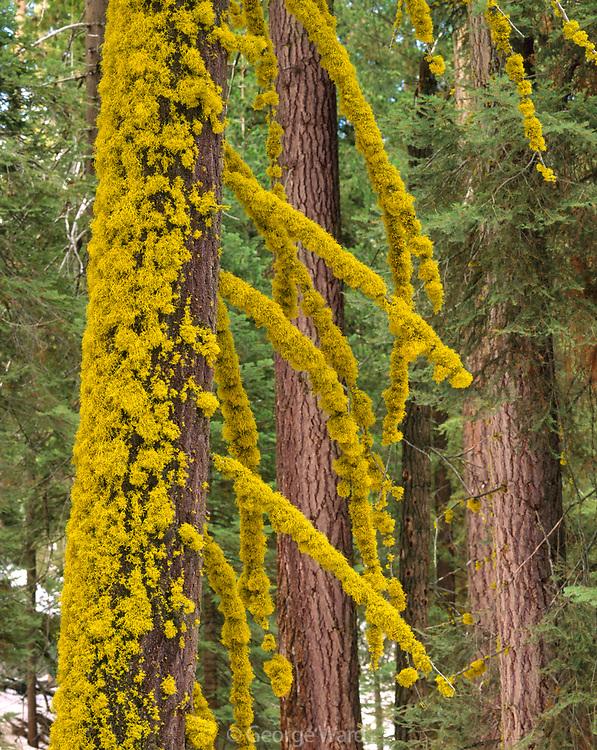 Staghorn Lichen on White Fir,Sequoia National Park, California