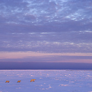 Polar Bear (Ursus maritimus) mother and cubs on frozen ice in Churchill, Manitoba, Canada.