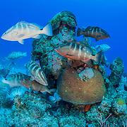 Critically endangered Nassau grouper (Epinephelus striatus) gather during the winter full moons to spawn. Image made in The Bahamas.