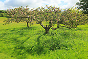 Apple blossom on trees in small garden orchard in Spring, Cherhill, Wiltshire, England, UK