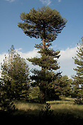 Weathered and wind shaped Pine trees PINUS PINEA on the northern slope of Mount Etna, the highest and most active volcano in Europe, Sicily, July 2006