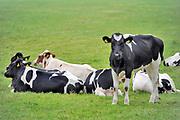 Nederland, Ooijpolder, 20-5-2020  Koeien, pinken, in de wei in de ooijpolder.Foto: Flip Franssen