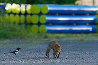 Urban fox (Vulpes vulpes) with Magpie (Pica pica) in London, United Kingdom