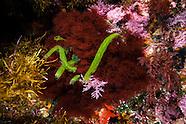 Caulerpa longifolia