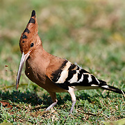 Sri Lankan subspecies of Hoopoe bird (Upupa epops ceylonensis) digging in the dirt looking for insects to eat.