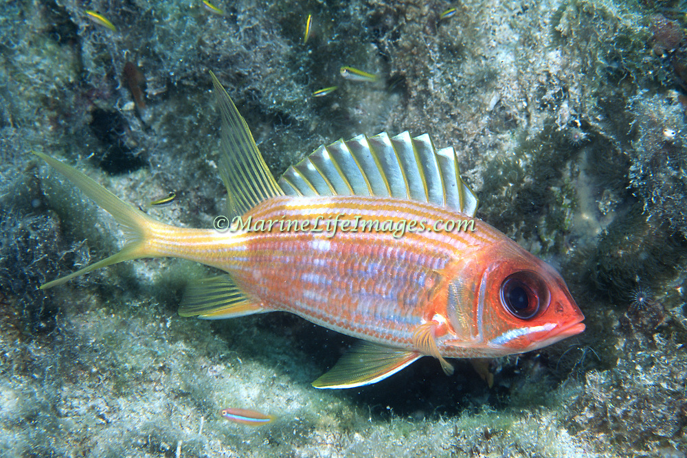 Longspine Squirrelfish inhabit reefs in the Tropical West Atlantic; picture taken Little Cayman.