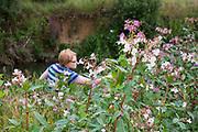 Himalayan balsam, Impatiens glandulifera, Woman hand pulling plants on river bank, Wiltshire, England, UK