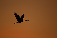 A single Scarlet Ibis (Eudocimus ruber) flying in an orange sky at sunset over the Orinoco River Delta, Venezuela.