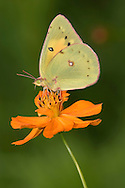 Yellow Butterfly On Orange Flower, Pink-edged Sulphur, Colias interior