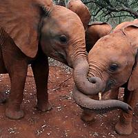 Sheldrick Elephant Orphanage<br /> Nairobi, Kenya <br /> June 15, 2017<br /> Photo by Shmuel Thaler<br /> www.shmuelthaler.com<br /> shmuel_thaler@yahoo.com<br /> 831-706-7513