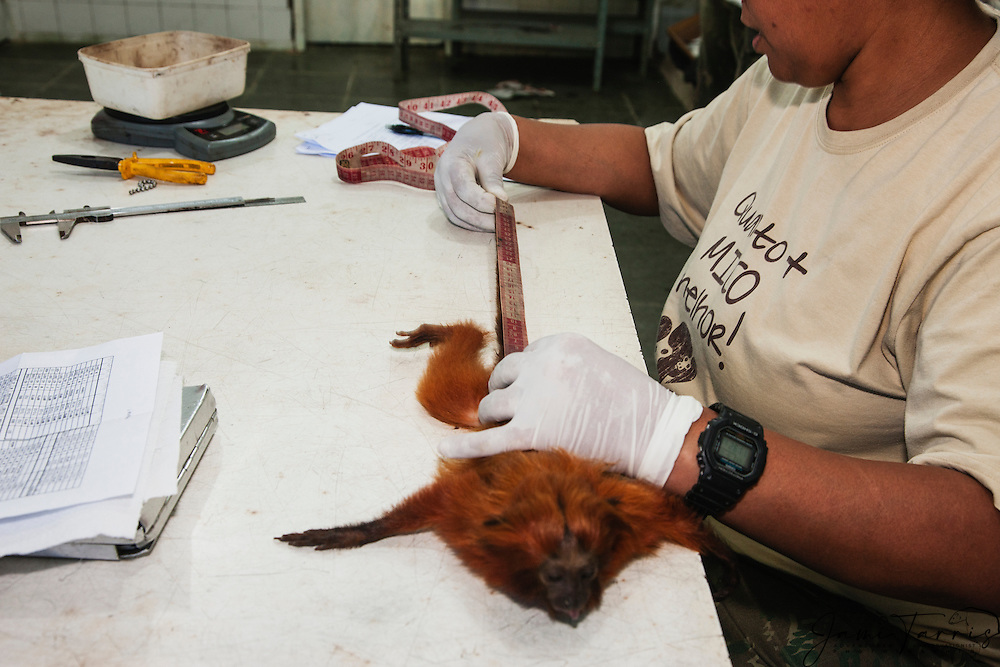 A research biologist taking measurements of a tranquilized golden lion tamarin in the lab  (Leontopithecus rosalia) ,Brasil, South America