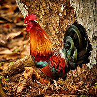 Feral Rooster at Kualoa Regional Park on the north shore of Oahu. Image taken with a Nikon N1 V3 camera and70-300 mm VR lens (ISO 800, 258 mm, f/5.6, 1/125 sec).
