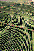 Coffee fields, Kaanapali, Maui, Hawaii